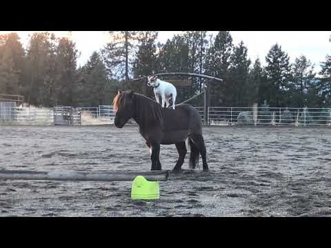 (225) Incredible Jack Russell riding mini horse over 3 jumps while standing - YouTube