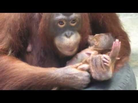 Please watch this video to raise awareness for orangutans. Don't forget to like!