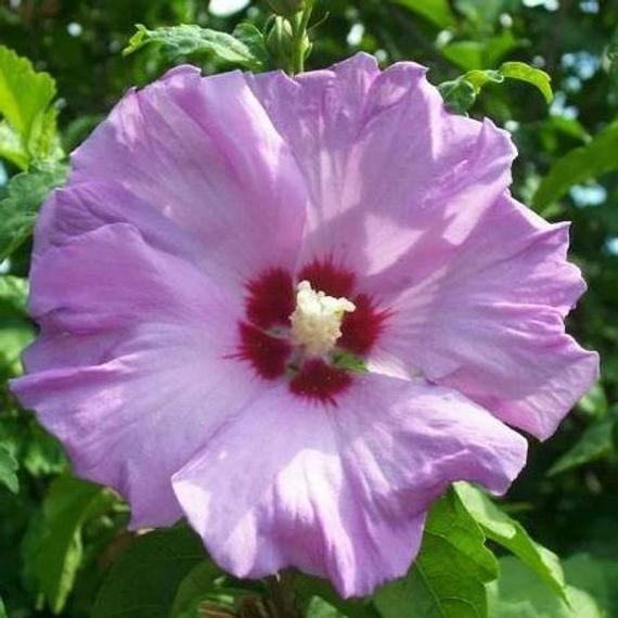 Purple Minerva Althea 1 2 Rose Of Sharon Hibiscus Shrub In 2020