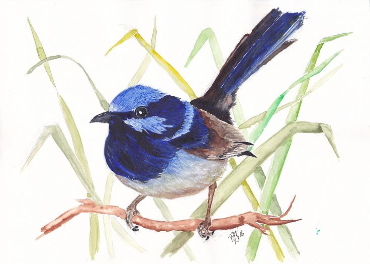 This is my watercolour painting of an Australian Blue Fairy Wren. This painting is for sale