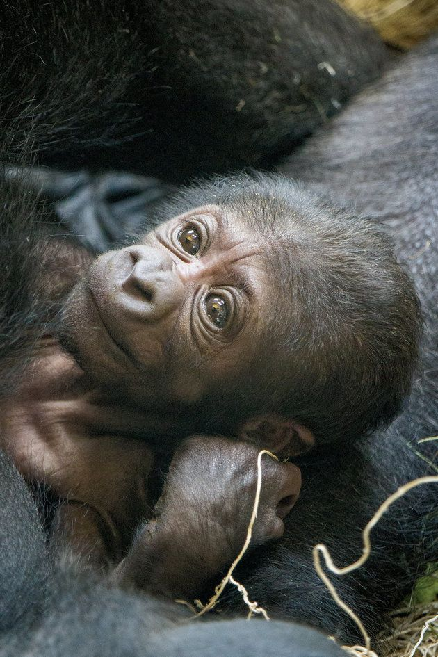 An Endangered Gorilla Gave Birth And The Baby Photos Are Adorable | HuffPost