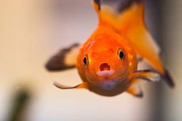 Goldfish Beauty Pageant: 3,000 Fish Compete For The CrownBeautiful Pageants, Beautiful Goldfish, Goldfish Company, Goldfish Test, Goldfish Beautiful, Business Sets, 3 000 Fish, Fish Pageants, The Roller Coasters