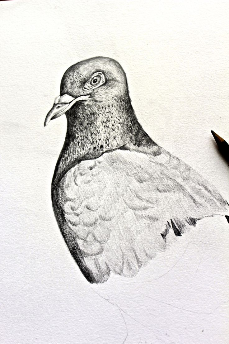 Pencil drawing of a pigeon by Helen Wells