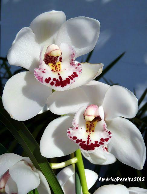 Cymbidium Hybrid - Orquídeas soltas                                                                                                                                                                                 Mais