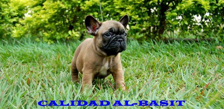 nuestra hermosa cachorra hija de golfo del cami laljup madre frustyle uliana zlata