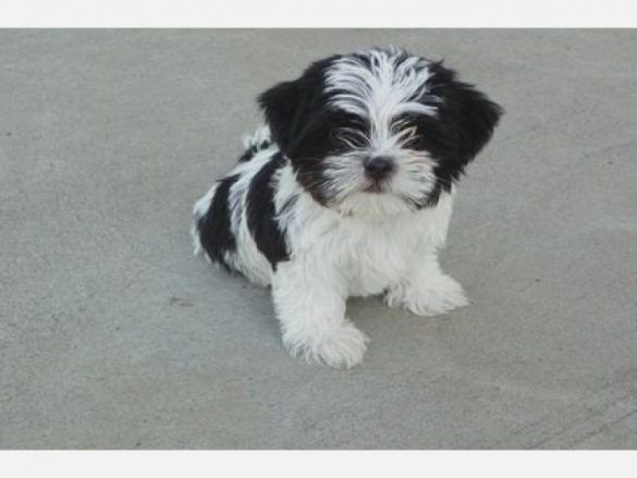 Malchi Yorkie Shih Tzu Mix Shorkie Puppies Shih Tzu