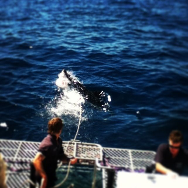 Great white shark cage diving. Port Lincoln, South Australia. Amazing day and incredible experience.