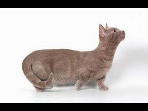 Кошка - Манчкин - YouTube