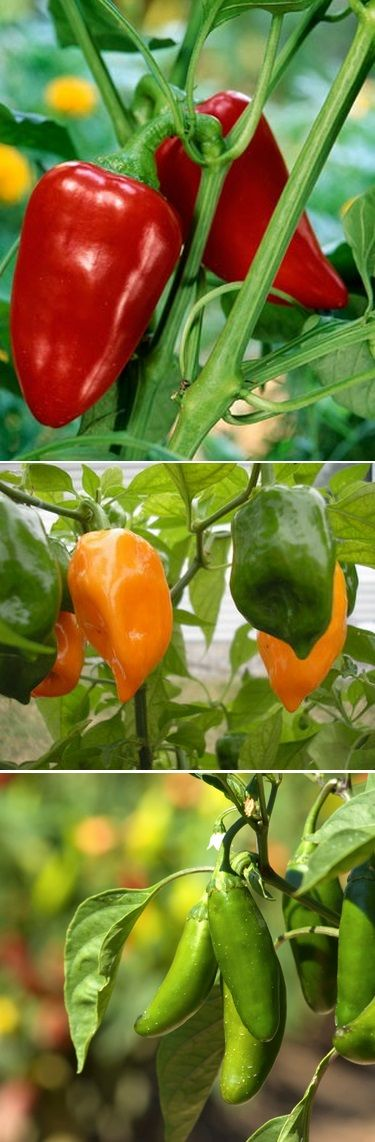 Peppers - one of the easiest vegetables to grow