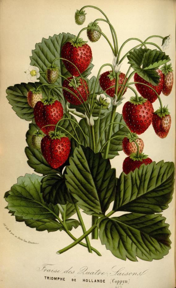 Fraisier Triomphe de Hollande. Flore des serres et des jardins de l'Europe v.18 (1869-70). A Gand :chez Louis van Houtte, éditeur,1845-1880.