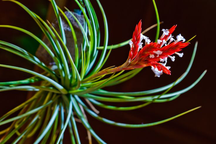 Plant Chaser - Gallery - Tillandsia vernicosa by Ian Flores for Plantchaser.com #343