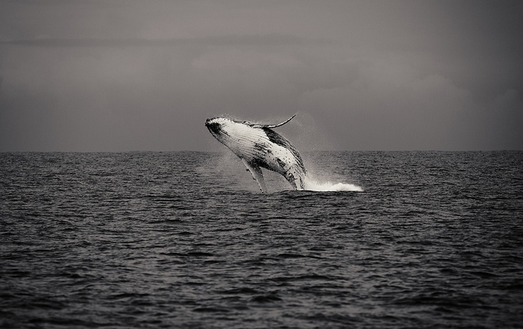 Untitled by ChrisY Photography, via 500pxMegaptera Novaeanglia, Wild Things, Untitled Photos, Photos Breach, Whales Breach, Chrisi Photography, White Photos, Fotos Excepcional, Wildlife Photos