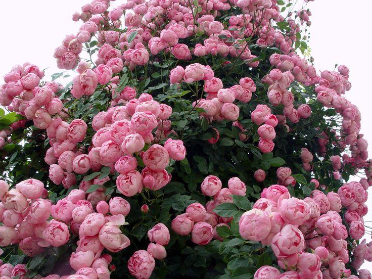 145 besten gartenpflanzen bilder auf pinterest verandas blumengarten und gartenpflanzen. Black Bedroom Furniture Sets. Home Design Ideas