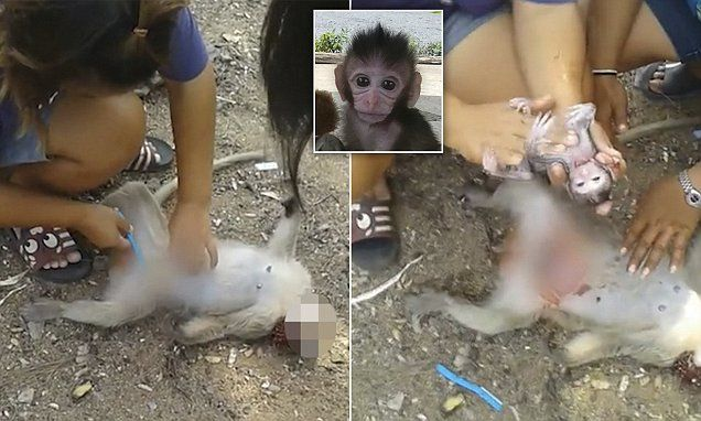 Monkey born via C-section after mother is killed by car in Thailand
