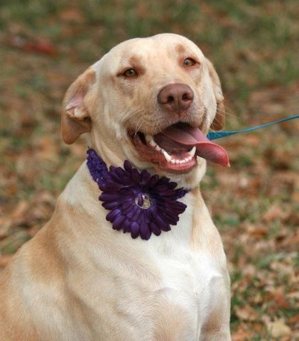 Olive Oil  Yellow Labrador Retriever • Adult • Female • Large  Humane Society of Southeast Texas Beaumont, TX