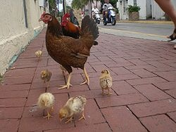I could take of my chickens in Key West!West Favorite, Favorite Places, Keys West Florida, Keys West Chicken, Favorite Keys, Key West, West Time, Free Roam Chicken, Chicken Families