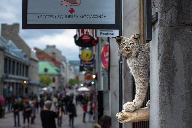 #montreal #paulstreet  The famous cat of Montreal. Vigilant and always on a look out... stuffed with curiosity