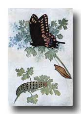 Butterfly Stages - The Black Swallowtail - Caterpillar, Chrysalis, and Butterfly