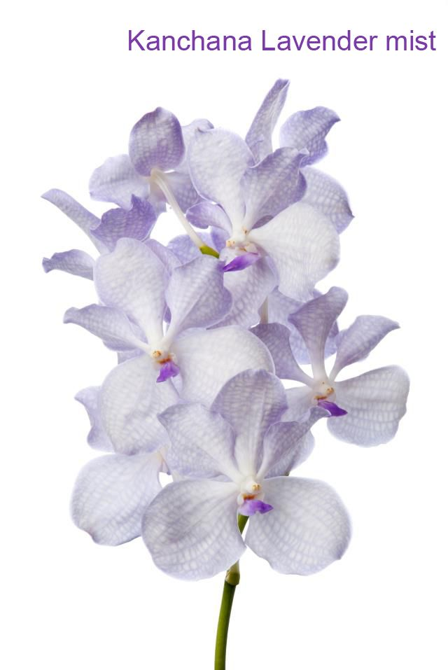 Vanda Kanchana Lavender mist