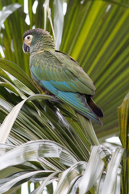 Photo Red-bellied Macaw (Orthopsittaca manilatus) by Paulo Lahr   Wiki Aves…