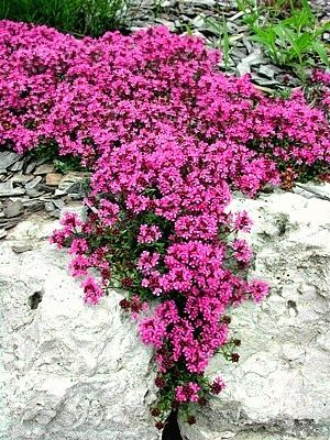 Creeping Thyme, great for rock walls, nooks and crannies... Nooks and crannies of rock walls are to be definitely considered as containers!!! This will look fab tucked into those nooks and crannies