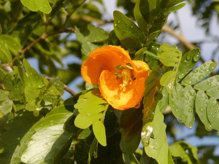 Bulnesia arborea bloom