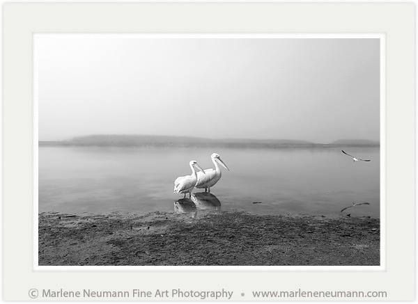 """MISTY MORNING....unlike any image I have ever taken before....It's new in my Black & White range..for me my work is a deep spiritual journey where through the lens I capture my emotional connection to life and portray a message from nature for each of us...The greatest gift you my friends can give me is to share with me how my images make you """"feel""""...love Marlene www.marleneneumann.com"""