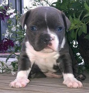 Stocky and Beautiful Tri-Bully Female, This little lady is an adorable POCKET PIT she has a short muzzle and low to the ground.She's looking for a family to love her like we do.She has Champion Bloodline of Gotti/Razor & GK. She will stand between 11 to 14 inches and will have her 1st/2nd shots,1st/2nd dewormings, and UKC papers. $900.00. Accepting deposits, which is 1/2 of purchase price. Serious Inquiries Only Contact Limitededitionbullyz@yahoo.com