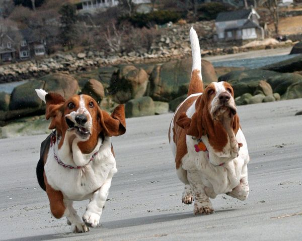 Bassett hounds running