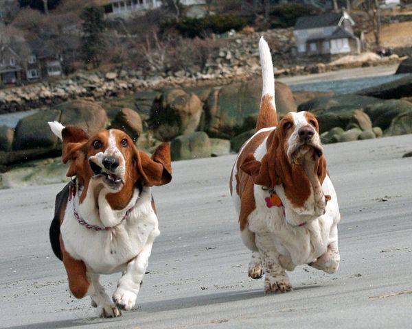 Bassett hounds running