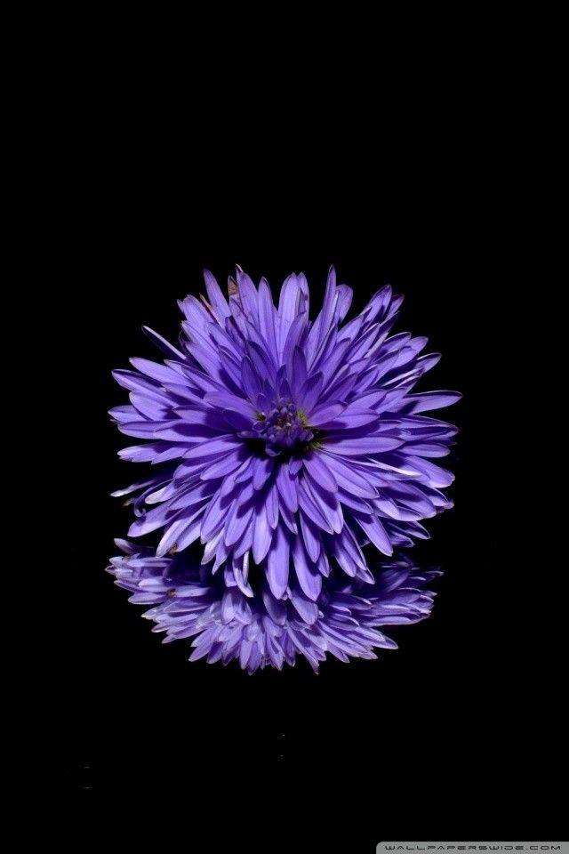 Iphone Screensaver Blue Flower Black Background E29da4 4k Hd Desktop