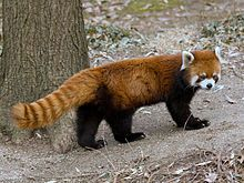The red panda (Ailurus fulgens), also called lesser panda and red cat-bear, it is a small arboreal mammal native to the eastern Himalayas and south-western China is slightly larger than a domestic cat. It feeds mainly on bamboo, but is omnivorous and also eats eggs, birds, insects, and small mammals. It is a solitary animal, mainly active from dusk to dawn, and is largely sedentary during the day.The red panda is the only living species of the genus Ailurus and the family Ailuridae
