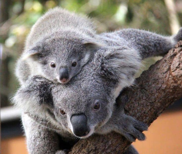 милые животные австралии фото фаререц, вырос рядом