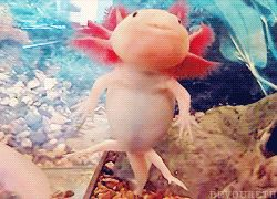 Axolotl salamanders have the ability to regenerate most body parts. In a period of months, they can grow entire new limbs and even portions of the brain and spine.