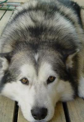 large alaskan malamute picture-This looks so much like my Asia that it's scary....dv