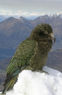 NZ Snow Tours - New Zealand Ski and Snowboard Blog - The Kea!