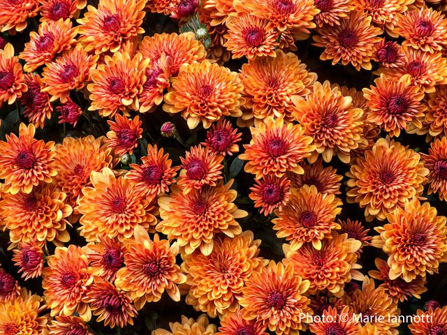 """They're sold as """"Hardy"""" mums, but they rarely live through the winter? Here's how to care for your mums, so they can be truly hardy, perennial plants."""