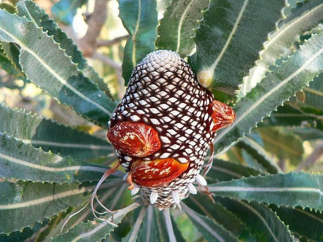 Banksia seed cone.