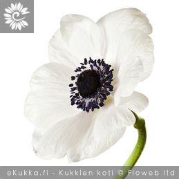 Anemone coronaria, Kruunuvuokko