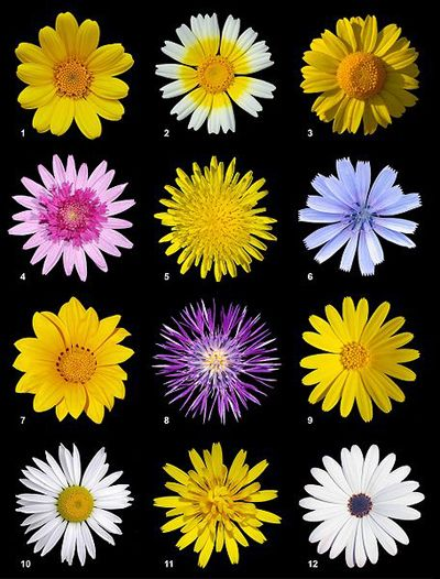 Types of daisies
