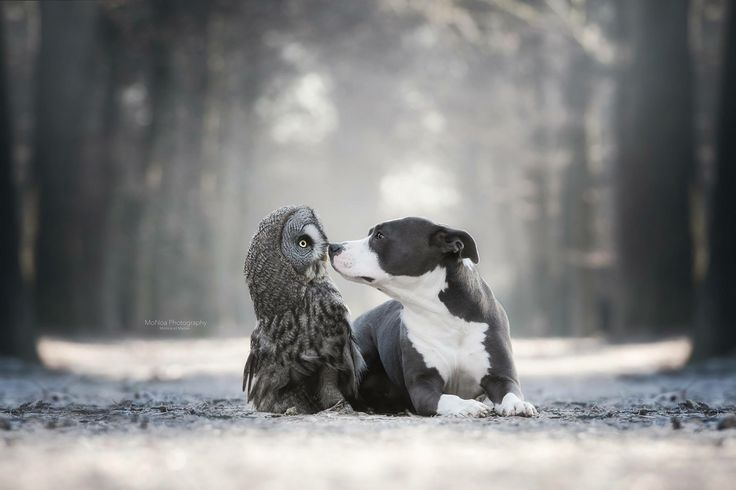 Love between two animals American Staffordshire and A owl #uil #Fotografie #hond #Liefde # Bos #droom