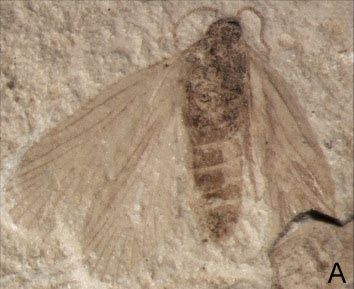 Image result for moth fossil