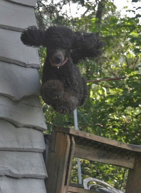 Saw this at tintlet.com. Tinlet Poodles are amazing! They fly! I wish I could have a standard, they are awesome.