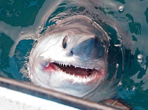 Porbeagle Shark - Look for them during #sharkweek - Poulsbo Children's Dentistry   #Poulsbo   #WA   www.poulsbochildrensdentistry.com