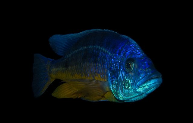 ... about Tropicals on Pinterest Malawi cichlids, Cichlids and Fish