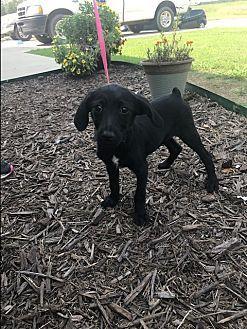 Boonsboro, MD - Terrier (Unknown Type, Small)/Terrier (Unknown Type, Small) Mix. Meet Morticia, a puppy for adoption. http://www.adoptapet.com/pet/19199918-boonsboro-maryland-terrier-unknown-type-small-mix
