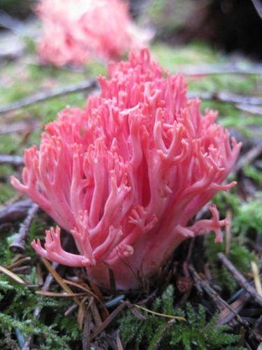 Coral Fungi, Olympic Peninsula    Ramaria araiospora.
