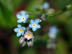 Woodland Forget Me Not (myosotis sylvatica): Myosotis sylvatica, the wood forget-me-not or woodland forget-me-not, is a species of flowering plant in the family Boraginaceae, native to Europe.  https://en.wikipedia.org/wiki/Myosotis%20sylvatica