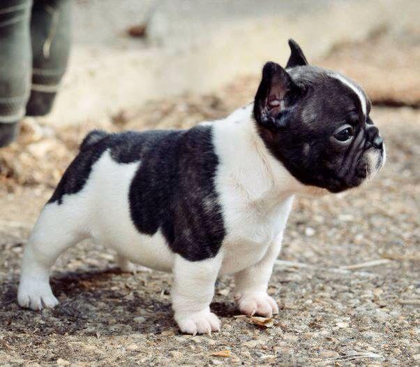Black & White | French Bulldog Puppy