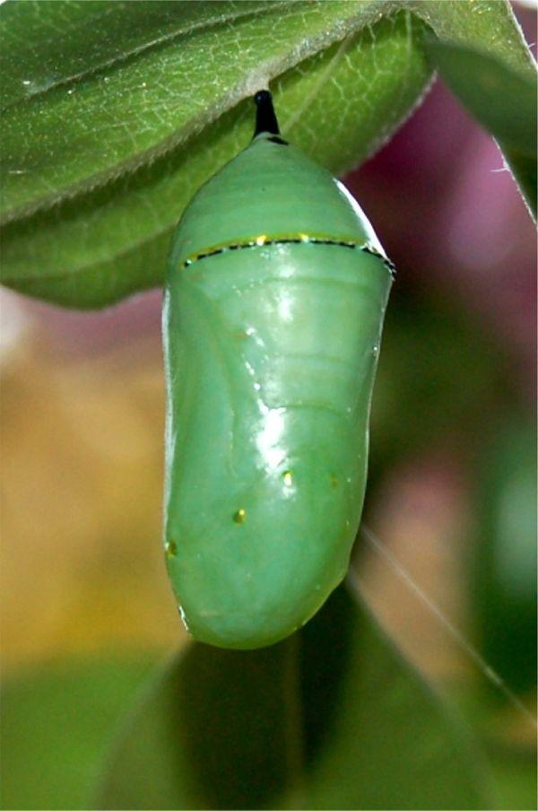 monarch butterfly pupa, chrysalis by ronda